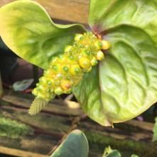 Conservatory Anthurium