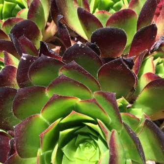 Conservatory Succulent