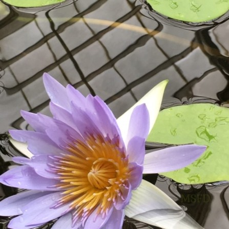 Conservatory Water Lily 1